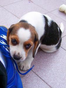 cachorrita_beagle_Zoe_de_Argentina