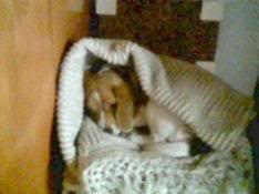 beagle_Valentina_arropada