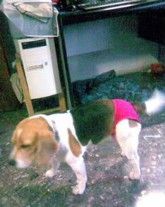 beagle_con_braguita_Valentina