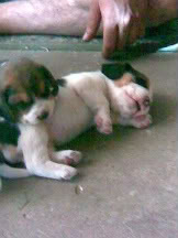 cachorros_de_beagle