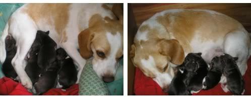 Beagle_Chispis_camada