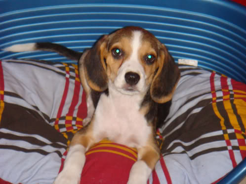 Beagle_Hermes_en_su_canasto