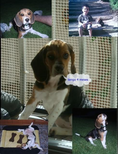 Beagle_Janna_con_niño