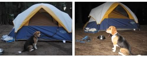 Beagle_Koli_de_acampada