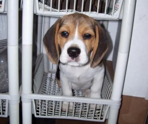 Beagle_Lulu_cesta