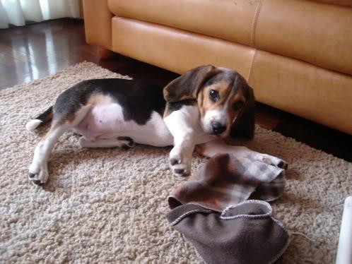 Beagle_Morris_de_Lima