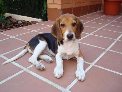 Beagle_Oli_de_Guadalajara_Spain