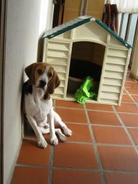Beagle_Vito_caseta_pvc