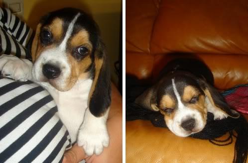 Cachorro_beagle_Morris_Lima