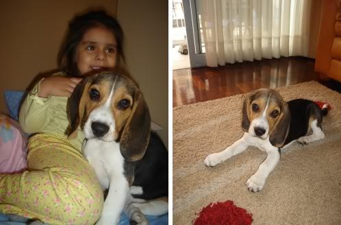 Cachorro_beagle_Morris_alfombra