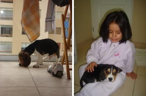 Cachorro_beagle_Morris_y_niña