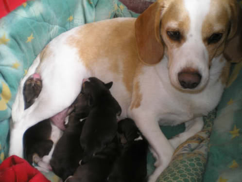 Chispis_camada_cachorros_beagle