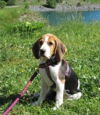 beagle Vito de Zaragoza
