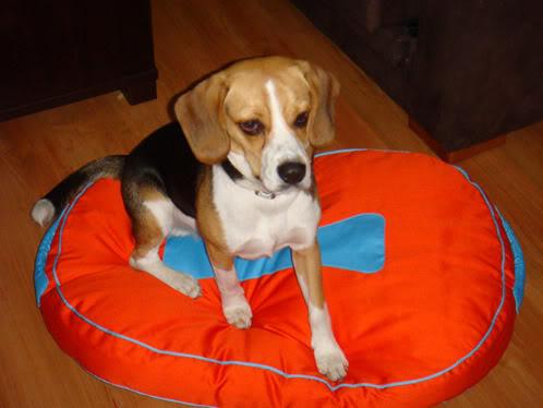 beagle-hermes-9meses-1