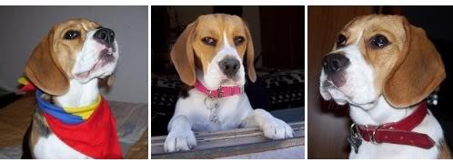 beagle-lulu-argentina-3