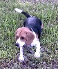 beagle-lulu-argentina-4