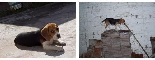 beagle-lulu-argentina-5