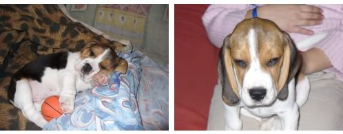 beagle_Bartolo_Argentina