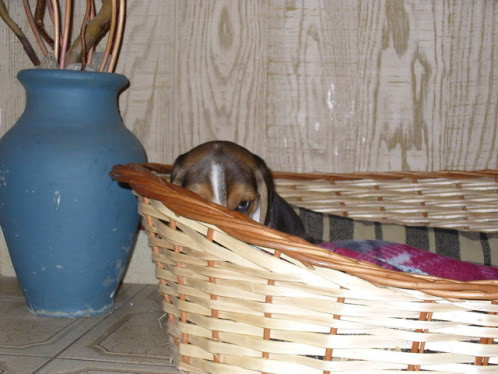 beagle_Bartolo_canasto