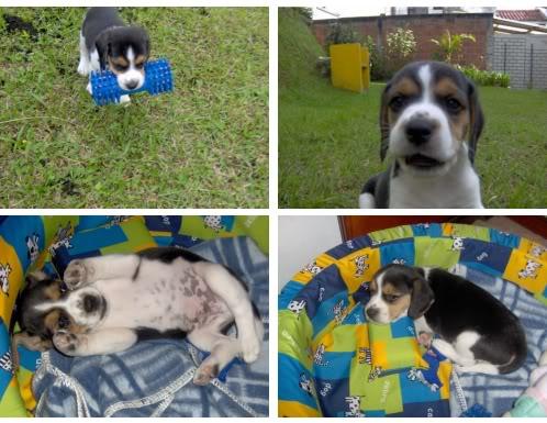 beagle_Bongo_Colombia