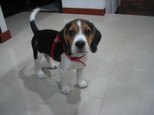 fotos-perros/beagle_Bongo_Colombia