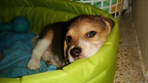 beagle_Brownie_ecuatoriano