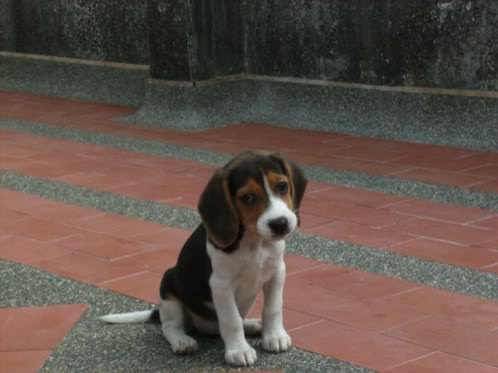 beagle_Canela_Colombia