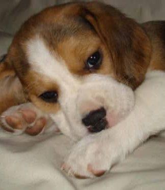 beagle Mora de Argentina