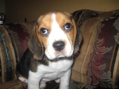 beagle_Pelusa_Chile