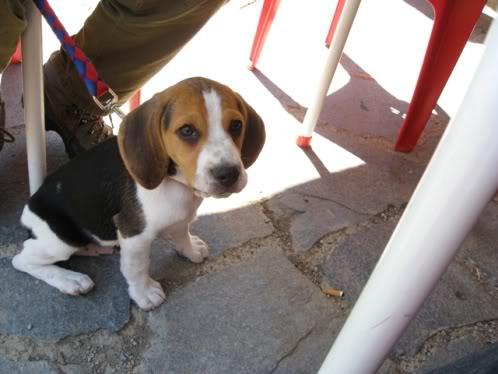 beagle_Vito_de_tapeo