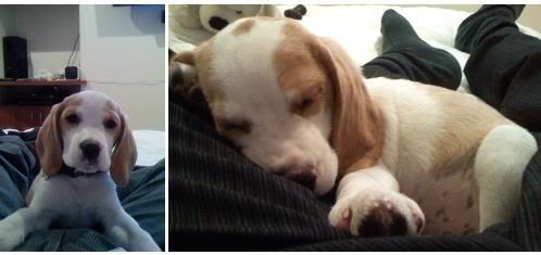 beagle_bicolor_Bruno_Bogota