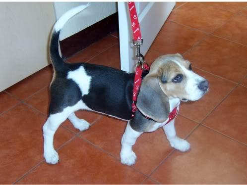 beagle_ika_guatemala