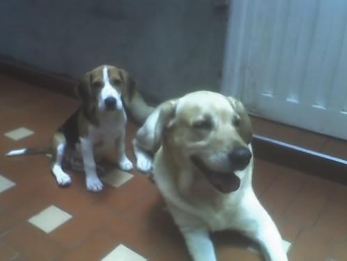 beagle_simon_y_primo