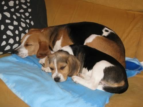 beagles-dormidos
