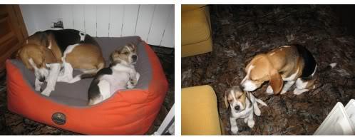 beagles-vito_y_duna-2