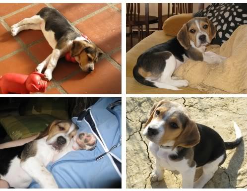 cachorrita-beagle-duna
