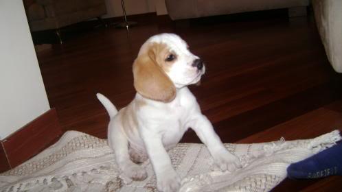 cachorro_beagle_Bruno_Bogota