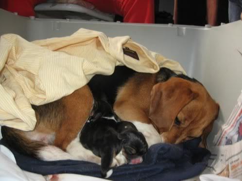 camada-beagles-1