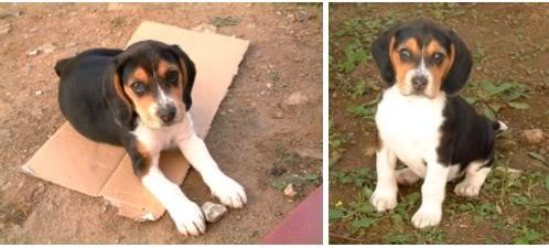 Beagle_Curro_con_piedras
