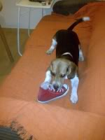 Beagle_Curro_zapatillla