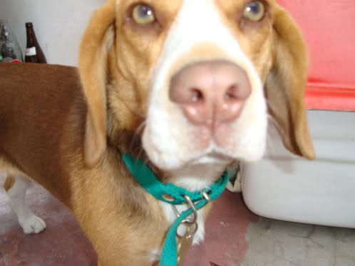 Beagle_Luna_Argentina