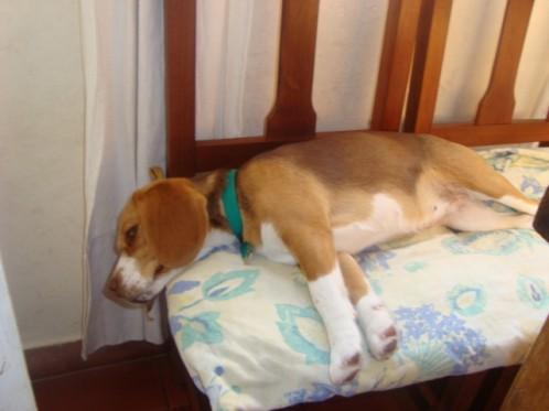 beagle-Luna durmiendo