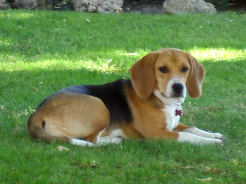beagle_Bimba_en_la_hierba