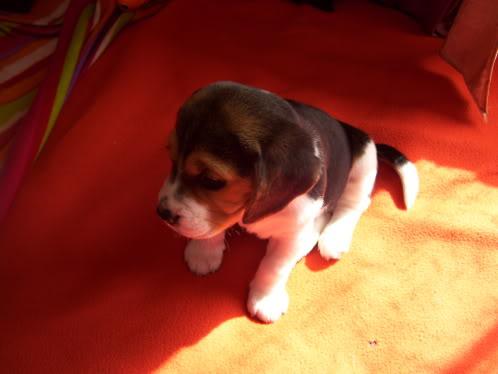 beagle_Gin_de_Chile