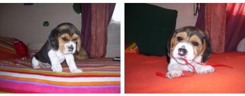 beagle_Gin_de_cachorro