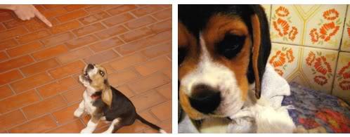 beagle_Homero_retando_45dias