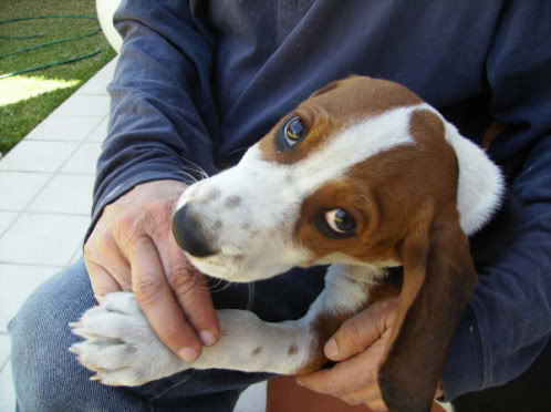 beagle_Jack_Mexico