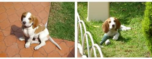 Zac beagle bicolor
