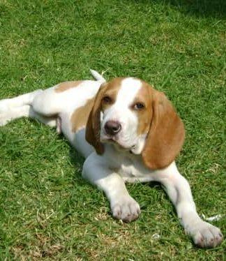 beagle bicolor Zac en la hierba
