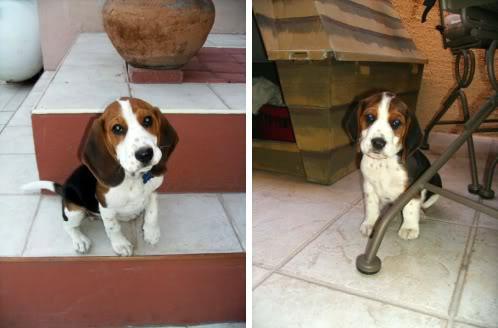 cachorro_beagle_Jack_Mexico